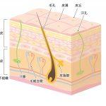 肌トラブル、アトピーの原因を知り改善するための肌知識と肌の構造